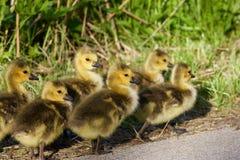 Οικογένεια των χαριτωμένων νέων cackling χήνων Στοκ φωτογραφία με δικαίωμα ελεύθερης χρήσης