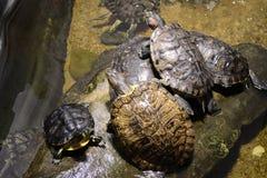 Οικογένεια των χελωνών στοκ φωτογραφία με δικαίωμα ελεύθερης χρήσης