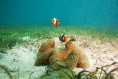 Οικογένεια των clownfishes στο αμμώδες κατώτατο σημείο Στοκ φωτογραφία με δικαίωμα ελεύθερης χρήσης