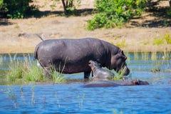 Οικογένεια των hippos στον ποταμό Στοκ Εικόνα
