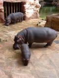 Οικογένεια των hippos Στοκ Φωτογραφία