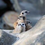Οικογένεια των meerkats Στοκ φωτογραφία με δικαίωμα ελεύθερης χρήσης