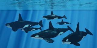 Οικογένεια φαλαινών δολοφόνων Στοκ εικόνα με δικαίωμα ελεύθερης χρήσης