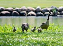 Οικογένεια χήνων έξω για έναν περίπατο Στοκ Φωτογραφία