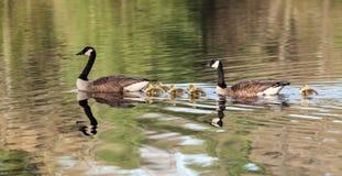 Οικογένεια χήνων που κολυμπά στη λίμνη Στοκ φωτογραφία με δικαίωμα ελεύθερης χρήσης