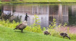 Οικογένεια χήνων Στοκ Εικόνες