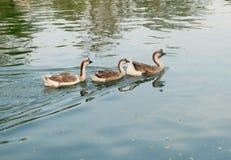 Οικογένεια χήνων στοκ φωτογραφίες