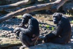 Οικογένεια χιμπατζών με τη χαλάρωση μωρών την ηλιόλουστη ημέρα Στοκ εικόνες με δικαίωμα ελεύθερης χρήσης