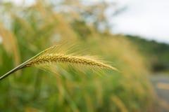 Οικογένεια χλόης Poaceae Στοκ Εικόνες