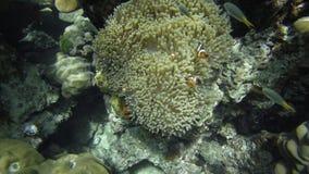 Οικογένεια Anemonefish Nemo Στοκ εικόνες με δικαίωμα ελεύθερης χρήσης