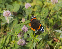 Οικογένεια atalanta της Vanessa ναυάρχων πεταλούδων της συνεδρίασης Nymphalidae στοκ εικόνες