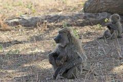 Οικογένεια Baboons Στοκ Εικόνες