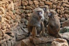 Οικογένεια Babuin που μένει κοντά στοκ εικόνες με δικαίωμα ελεύθερης χρήσης