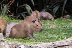 Οικογένεια Capybara που ταΐζει και που στηρίζεται στοκ εικόνα με δικαίωμα ελεύθερης χρήσης