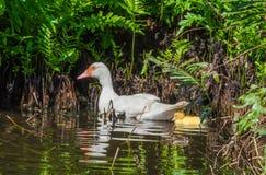Οικογένεια Ducky Στοκ Εικόνες