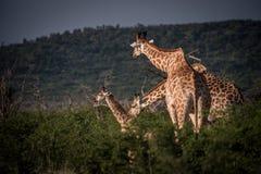 Οικογένεια Giraffe Στοκ Εικόνα