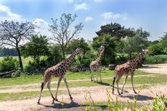 Οικογένεια giraffes με ένα μωρό Στοκ εικόνες με δικαίωμα ελεύθερης χρήσης