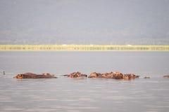 Οικογένεια Hippopotamus που στηρίζεται σε μια λίμνη, εθνικό πάρκο του Ναϊρόμπι, KE Στοκ Φωτογραφία