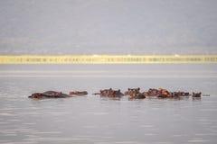 Οικογένεια Hippopotamus που στηρίζεται σε μια λίμνη, εθνικό πάρκο του Ναϊρόμπι, KE Στοκ εικόνες με δικαίωμα ελεύθερης χρήσης