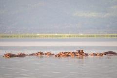 Οικογένεια Hippopotamus που στηρίζεται σε μια λίμνη, εθνικό πάρκο του Ναϊρόμπι, KE Στοκ Εικόνα