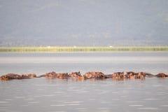 Οικογένεια Hippopotamus που στηρίζεται σε μια λίμνη, εθνικό πάρκο του Ναϊρόμπι, KE Στοκ Εικόνες