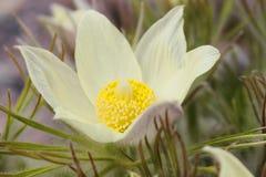 Οικογένεια Liliaceae sibiricum Erythronium Στοκ Εικόνες