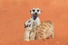Οικογένεια Meerkat στην κόκκινη άμμο, έρημος της Καλαχάρης, Ναμίμπια στοκ εικόνες με δικαίωμα ελεύθερης χρήσης