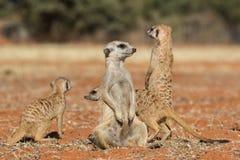 Οικογένεια Meerkat στην κόκκινη άμμο, έρημος της Καλαχάρης, Ναμίμπια Στοκ Φωτογραφίες