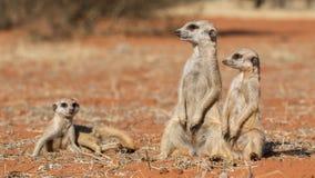 Οικογένεια Meerkat στην κόκκινη άμμο, έρημος της Καλαχάρης, Ναμίμπια Στοκ Εικόνες