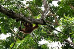 Οικογένεια orangutan του παιχνιδιού στα δέντρα με τα παιδιά τους Στοκ Φωτογραφία