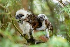 Οικογένεια Tamarin με το μικρό μωρό Στοκ Εικόνα