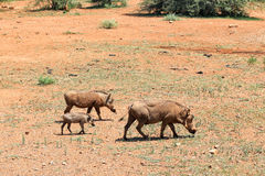 Οικογένεια Warthog στοκ φωτογραφία