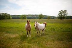Οικογενειακά άλογα σε ένα πράσινο λιβάδι Στοκ φωτογραφίες με δικαίωμα ελεύθερης χρήσης