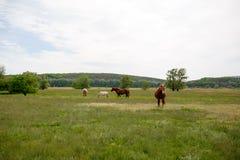Οικογενειακά άλογα σε ένα πράσινο λιβάδι Στοκ Εικόνες