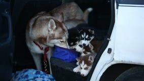 Οικογενειακά γεροδεμένα σκυλιά απόθεμα βίντεο