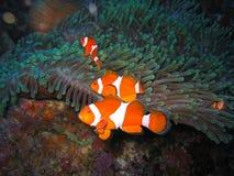 οικογενειακά ψάρια κλόουν τροπικά Στοκ φωτογραφίες με δικαίωμα ελεύθερης χρήσης