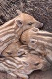 οικογενειακές άγρια πε Στοκ Εικόνες