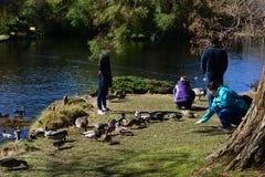 Οικογενειακές ταΐζοντας πάπιες στο πάρκο Στοκ εικόνα με δικαίωμα ελεύθερης χρήσης
