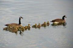 Οικογενειακή έξοδος χήνων Στοκ Φωτογραφίες