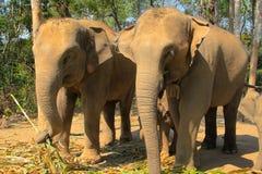 οικογενειακή μητέρα ελεφάντων καρύδων μόσχων μωρών κοντά στο μίσχο φοινικών Στοκ Φωτογραφία
