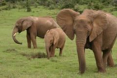 οικογενειακή μητέρα ελεφάντων καρύδων μόσχων μωρών κοντά στο μίσχο φοινικών Στοκ Εικόνες