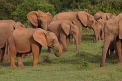 οικογενειακή μητέρα ελεφάντων καρύδων μόσχων μωρών κοντά στο μίσχο φοινικών Στοκ Φωτογραφίες