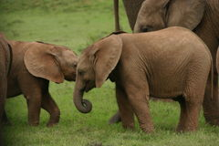 οικογενειακή μητέρα ελεφάντων καρύδων μόσχων μωρών κοντά στο μίσχο φοινικών Στοκ φωτογραφίες με δικαίωμα ελεύθερης χρήσης