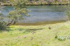 Οικογενειακή πάπια στον ποταμό Lapataia, εθνικό πάρκο Γης του Πυρός Στοκ εικόνα με δικαίωμα ελεύθερης χρήσης