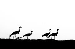 Οικογενειακή σκιαγραφία γερανών Demoiselle Στοκ φωτογραφία με δικαίωμα ελεύθερης χρήσης