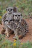 οικογενειακή συσσώρευση meerkat στοκ εικόνες
