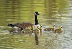οικογενειακή χήνα Στοκ Φωτογραφία