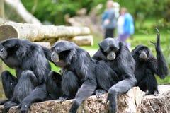Οικογενειακή χαλάρωση Gibbon Siamang στο πάρκο άγριας φύσης fota Στοκ φωτογραφία με δικαίωμα ελεύθερης χρήσης