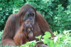 οικογενειακός orangutan Στοκ φωτογραφία με δικαίωμα ελεύθερης χρήσης
