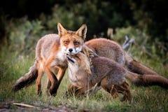 Οικογενειακό παιχνίδι αλεπούδων Στοκ Φωτογραφία